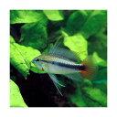 (熱帯魚)アピストグラマsp.リオマモレ レッド(1ペア) 北海道・九州航空便要保温