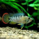 (熱帯魚)アピストグラマsp.Inka-50(ウィルヘルムブリード)(1ペア) 北海道・九州・沖縄航空便要保温