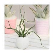 (観葉植物)私のオアシス 癒しの風吹くたまごチビ(ティランジア・ブルボーサ セット) 北海道冬期発送不可