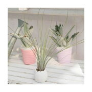 (観葉植物)私のオアシス 癒しの風吹くたまごチビ(ティランジア・ジュンセア セット) 北海道冬期発送不可