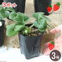 (観葉)パナプラス 野菜苗 イチゴ 四季成りイチゴ 宿根苺 みのりくん 3号ロング(お買い得3ポットセット) 家庭菜園