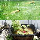 (ビオトープ)(めだか)角型タライのビオトープセット(60型・黒) 温帯性睡蓮(赤)+水辺植物+ヒメダカ+他用品 説明書付き 本州・四国限定