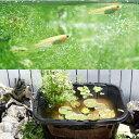 (ビオトープ)(めだか)角型タライのビオトープセット(60型・黒) 温帯性睡蓮(黄)+水辺植物+ヒメダカ+他用品 説明書付き 本州・四国限定