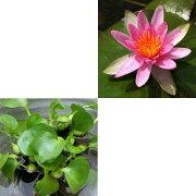 (ビオトープ)(浮草)蕾付き 温帯性睡蓮(スイレン) 赤(1ポット) + ホテイ草 (3株)