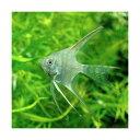 (熱帯魚)ベールテール・エンゼルフィッシュ(国産ブリード)(1匹) 北海道・九州・沖縄航空便要保温