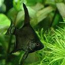 (熱帯魚)ブラック・エンゼルフィッシュ(国産ブリード)(1匹) 北海道・九州・沖縄航空便要保温