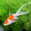 (国産金魚)コメット(1匹)