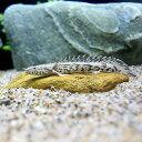 (熱帯魚)ポリプテルス・エンドリケリー・エンドリケリー Sサイズ(東南ブリード)(1匹) 北海道・九