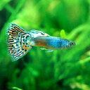 (熱帯魚)フルメタルレッドグラス・グッピー(国産グッピー)(1ペア) 北海道・九州・沖縄航空便要保温