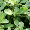 (水草)ハイグロフィラsp.ダークブラウン タイ産(水上葉)(無農薬)(3本)