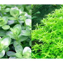(水草)グリーンロタラ(水上葉)(無農薬)(30本) 北海道航空便要保温