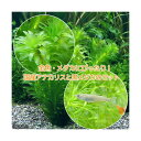 (水草)メダカ・金魚藻 国産 アナカリス(無農薬)(5本) +クロメダカ(6匹)