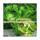 (めだか 水草)金魚藻 アナカリス(輸入品)(5本) +おまかせ浮き草3種(1株)