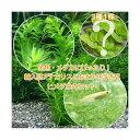 (めだか 水草)アナカリス(輸入品)5本 +おまかせ浮き草3種+ヒメダカ(6匹)