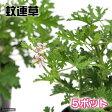 (観葉)ハーブ苗 カレンソウ(蚊連草) 3号(お買い得5ポットセット) 虫除け植物 家庭菜園