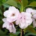 (盆栽)サクラ(桜) 旭山 3.5号(1ポット) (休眠株)