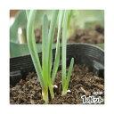 (観葉植物)野菜苗 ネギニラ なかみどり 3号(1ポット) 家庭菜園