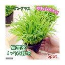 (観葉)スーダングラス ワンちゃんの草 直径8cmECOポット植え(無農薬)(5ポットセット) 犬のおやつ