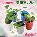 (観葉植物)アサガオ おまかせ宿根アサガオの苗 3号(5ポット) 緑のカーテン