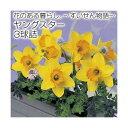 RoomClip商品情報 - (観葉)スイセン球根 花のある暮らし。 〜すいせん物語〜 ヤングスター 3球詰(1袋)【HLS_DU】