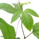 (観葉植物)訳あり品 パッションフルーツ 品種おまかせ 3〜4号(1ポット) 緑のカーテン【HLS_DU】