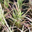 (ビオトープ)水辺植物 十和田アシ(1ポット分) 湿性植物 (休眠株)