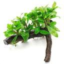 (水草)ハイグロフィラ ポリスペルマ(水上葉) 流木付(無農薬)Sサイズ(1個)(約10〜15cm)