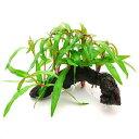 (水草)ポリゴナムsp.ピンク 流木付 Sサイズ(水上葉)(無農薬)(1本)(約15cm)