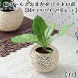(観葉)おまかせハイドロ苗と麻ボールの鉢 白 Mサイズ苗(1セット)
