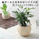 (観葉植物)おまかせハイドロ苗と麻ボールの鉢 白 Lサイズ苗(1セット)