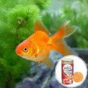 (国産金魚)琉金(リュウキン)(1匹) + キョーリン ゴールドプロス 50g セット 本州・四国限定