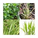 (ビオトープ)水辺植物 ビオトープビギナーセット 水辺植物4種類
