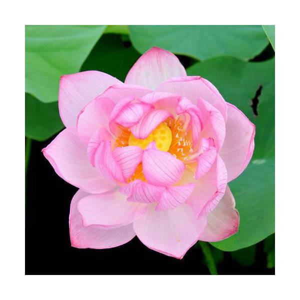 (ビオトープ/蓮)ハス(ピンク) 浄台蓮(ジョウ...の商品画像