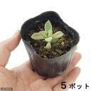 (観葉植物)ペットリーフ グラパラリーフの苗 2.5号(無農薬)(5ポット) リクガメ カメ 餌 おやつ 北海道冬期発送不可