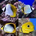 (海水魚)沖縄産 チョウチョウウオミックス(5匹) 北海道・...