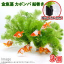 (水草)メダカ・金魚藻 カボンバ 鉛巻き(7〜10本)(3個)+植えるカム キスゴムタイプ 本州・四国限定
