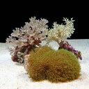 (海水魚 サンゴ)ソフトコーラルグリーンタイプ 3種セット(1セット) 北海道・九州・沖縄航空便要保温