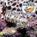 (海水魚)おまかせハウスとカエルウオミックス(1セット) 北海道・九州・沖縄航空便要保温