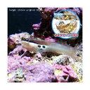 (海水魚)おまかせハウスとツースポットブレニー(1セット)