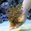 (海水魚 海藻)種類おまかせホンダワラ ライフマルチ付き(3個) 北海道航空便要保温