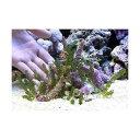 (海水魚 海藻)ウミブドウの楽園(1セット) 北海道・九州・沖縄航空便要保温