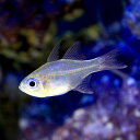 (海水魚)沖縄産 イトヒキテンジクダイ(5匹) 北海道・九州...