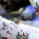 (海水魚 貝 無脊椎)生餌 エサ用小型巻貝(チグサガイ ミックス) コケの掃除(20匹) 北海道航空便要保温