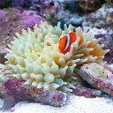 (海水魚 エビ)サンゴイソギンチャク SS-Sサイズ(1匹)+ イソギンチャクモエビ(2匹)