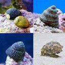 (海水魚 貝 無脊椎)おまかせクリーナースネール(5匹) 北...