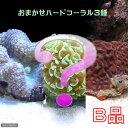 (海水魚 サンゴ)(B品)おまかせハードコーラル3種セット Sサイズ 北海道航空便要保温