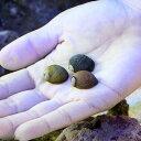 (海水魚 貝 無脊椎)海洋性カノコガイ Mサイズ コケの掃除(9匹)