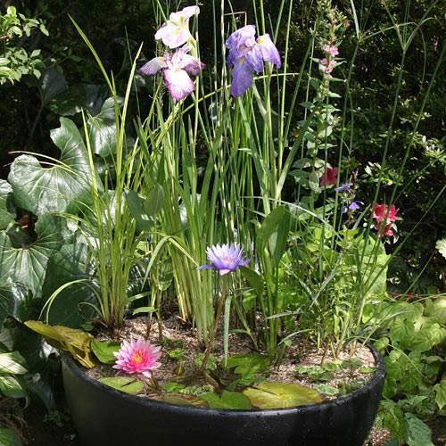 (ビオトープ/水辺植物)おまかせビオトープ植物セット 20種(睡蓮(スイレン)2種含む)本州・四国限定