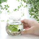(水草)私の小さなアクアリウム ?マリモとウィローモス?(1セット) 説明書付 本州・四国限定