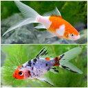 (国産金魚)おすすめ金魚セット(コメット+朱文金 各1匹)